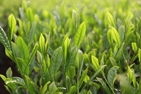 画像:埼玉県鶴ヶ島市の狭山茶とお茶スィーツ